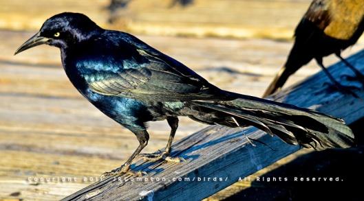 blue-black-grack-001_6789